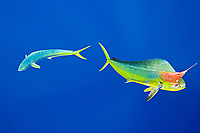 mahi mahi, common dolphinfish or dorado, Coryphaena hippurus, hooked on trolling jet lure, being accompanied by the other free-swimming mahi mahi which is trying to attack the lure, off Kona Coast, Big Island, Hawaii, USA, Pacific Ocean