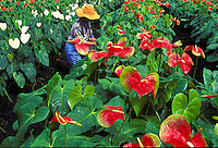Tending anthurium at a Big Island farm