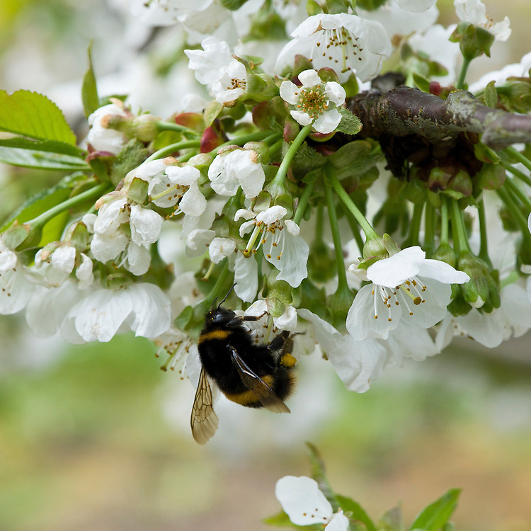 Bee on blossom of sweet cherry 'Summer Sun', mid April.
