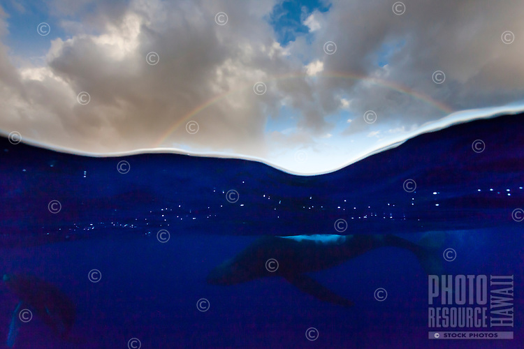 Humpback whales swimming off the coast of Maui with a rainbow above.
