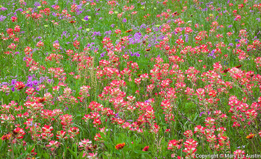 Guadalupe County, TX: Field of wildflowers featuring Indian paintbrush (Castilleja indivisa), phlox (Phlox pilosa) andIndian Blanket (Gaillardia pulchella)