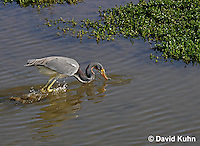 0127-08tt  Tricolored Heron Hunting for Prey Striking Water, Louisiana heron, Egretta tricolor  © David Kuhn/Dwight Kuhn Photography