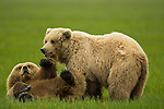 Two adolescent female brown bears wrestle playfully.  June 25th, 2008, Lake Clark National Park, Alaska, USA.  Photo by Gus Curtis.