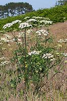 Wiesen-Bärenklau, Wiesenbärenklau, Gemeiner Bärenklau, Heracleum sphondylium, common hogweed