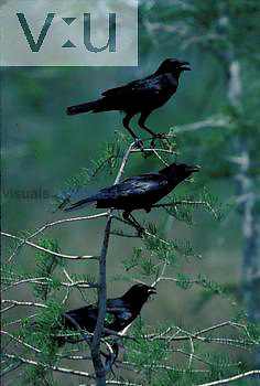 A common crow in a bald cypress tree.