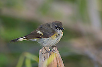 American Redstart, Setophaga ruticilla, young male, Port Aransas, Texas, USA, May 2007