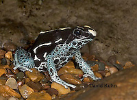1023-07nn  Dendrobates tinctorius ñ Dyeing Poison Arrow Frog ñ Tincs Dart Frog © David Kuhn/Dwight Kuhn Photography