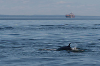 A minke whale's fine is visible in front of a large container ship in the Saint Lawrence near Tadoussac, Quebec.