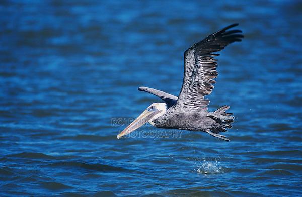 Brown Pelican, Pelecanus occidentalis,adult in flight, Port Aransas, Texas, USA, December 2003