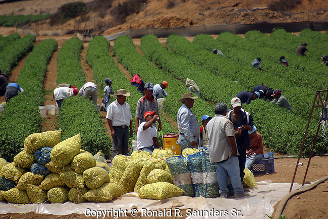 MEXICAN CROP WORKERS in the FIELD<br />