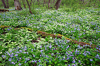 Spring wildflowers in lowland forest, Carley State Park, Minnesota