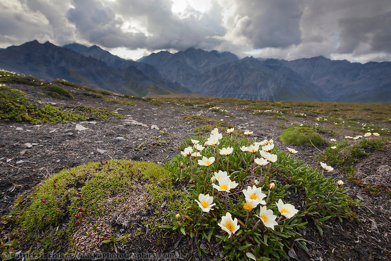 Mountain avens in the Brooks Range mountains bordering the west side of the Marsh Fork of the Canning River in the Arctic National Wildlife Refuge in the Brooks Range mountains, Alaska.
