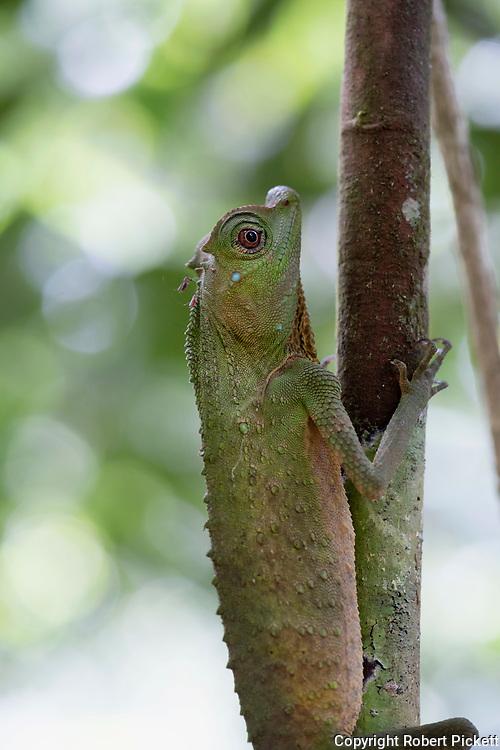 Hump Nosed Lizard, Lyriocephalus scutatus, Sinharaja World Heritage Site, Sri Lanka, climbing up branch