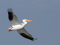 Pelicans were among the many, many birds we saw at Market Lake.