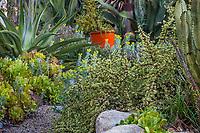 Portulacaria afra variegata, Rainbow Bush, Elephant Bush variegated succulent Patrick Anderson Garden