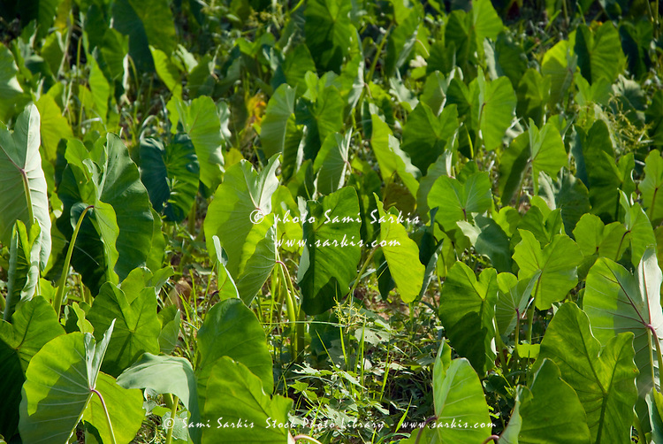 Lush crop leaves in a  field in Vinales Valley, Cuba.