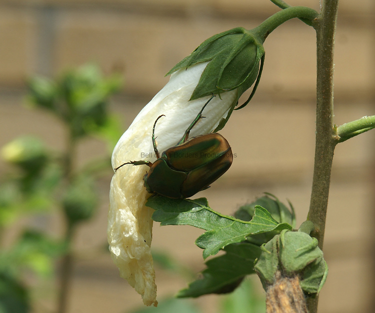 The wilting flowers of the Rose of Sharon attract insects to eat the petals. A green scarab beetle is enjoying a snack.