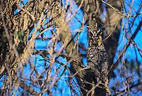 Long eared Owl, Palmyra Nature Cove, Palmyra, New Jersey