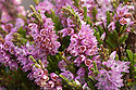 Ling Heather {Calluna vulgaris}, Curbar Edge, Peak District National Park, Derbyshire, UK. August.