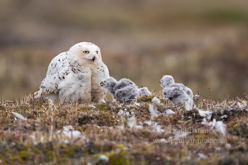 Snowy Owl nestlings rush to the warmth of their mother.