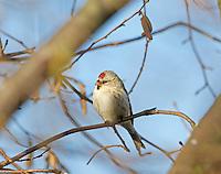 Coue's Arctic Redpoll - Carduelis hornemanni exilipes
