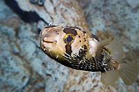 Freckled porcupinefish, Diodon holocanthus