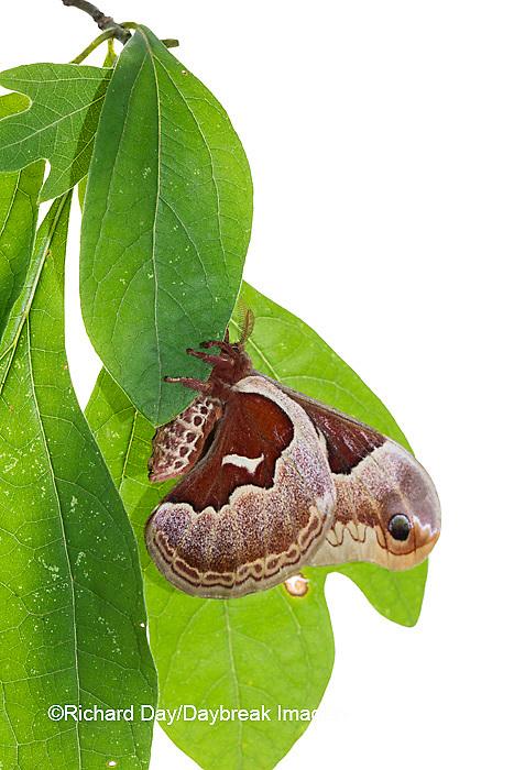 30040-00215 Promethea Moth (Callosamia promethea) female on white background, Marion Co., IL