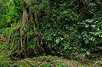 Cloudu Forest Tree roots, Volcan Baru National Park, Chiriqui province, Panam,Central America
