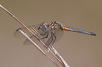 Blue Dasher (Pachydiplax longipennis) - Juvenile Male, Lake Kissimmee State Park, Lake Wales, Polk County, Florida