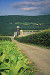 Amish farm (Levi Stolfus) lane with tobacco and corn. Nippenose Valley, PA. 1996