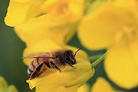 Bee on a rape flower.