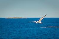 Flygande fiskmås i Stockholms ytterskärgård. / Seagull in the Stockholm archipelago Sweden.