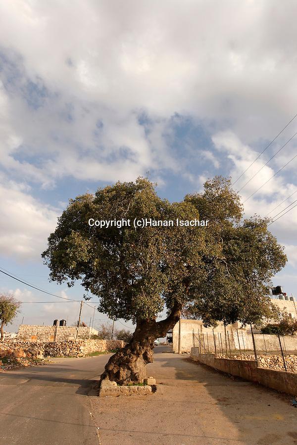 Beth El Mountains, Kermes Oak (Quercus calliprinos) in Yabrud