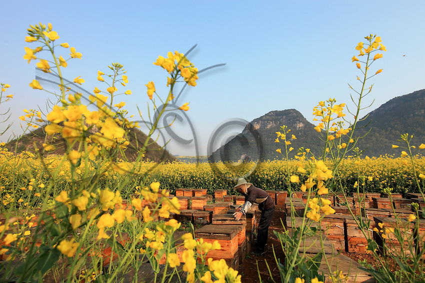 Luoping, Yunnan. Un apiculteur au travail sur un rucher.///Luoping, Yunnan. A beekeeper working in an apiary.