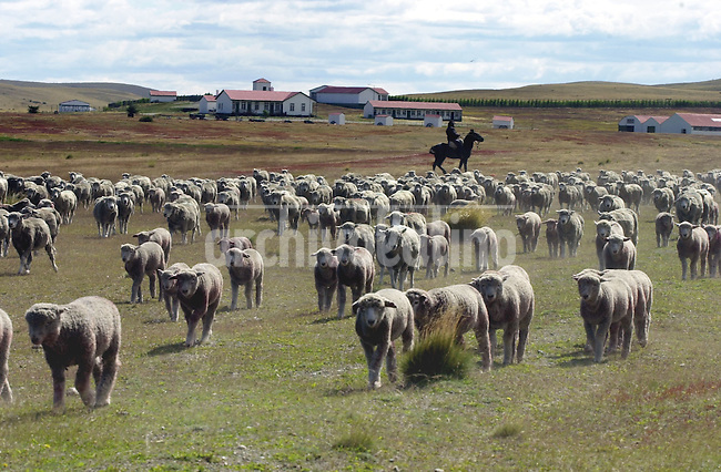 Clasificacion de ovejas en la estancia Monte Dinero cerca del Estrecho de Magallanes, en la porción más austral. La produccion de carne y lana es la industria más antigua de la Patagonia.+  ganado, ovino, economia*Classification of sheep herds at Monte Dinero farm near the mouth of the Straits of  Magellan, in the southest portion. Wool and mutton production is the oldest industry in Patagonia+economy *Classification des moutons dans la ferme Monte Dinero près du détroit de Magallenes, dans la partie la plus australe. +campagne, paysans, animaux, élevage, bétail, travail, exportations