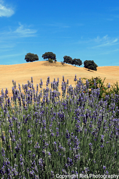 A picturesque view of lavender in the foreground of rolling hills near Ronda, Spain.