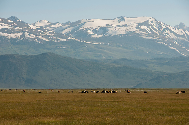 Scenic, cattle grazing, mountains, near Bridgeport;  California, USA.  Photo copyright Lee Foster.  Photo # california121123