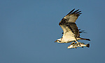 """Osprey with Fish-2"", Florida"
