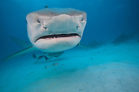 This tiger shark, Galeocerdo cuvier, was attracted with bait to be photograhed, Bahamas, Atlantic Ocean