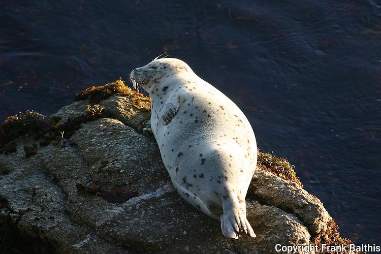 harbor seal pup on rocks