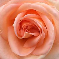 UW Roses