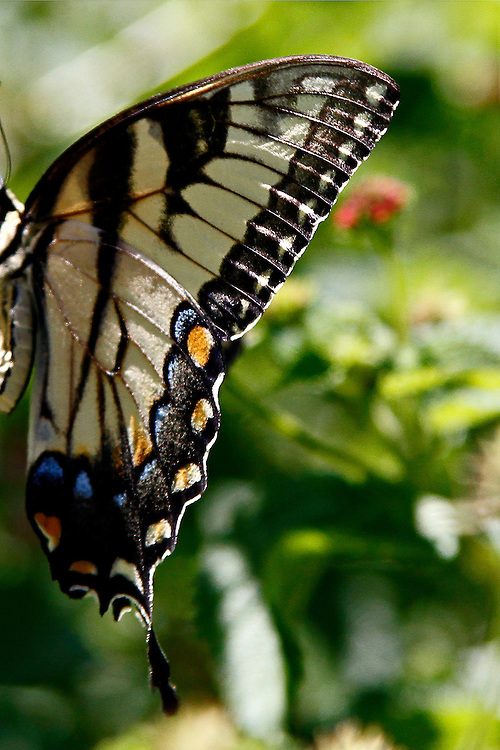 The left Ventral wing of an Eastern Tiger Swallowtail agains a multi-colored background in a gardien in North Carolina.