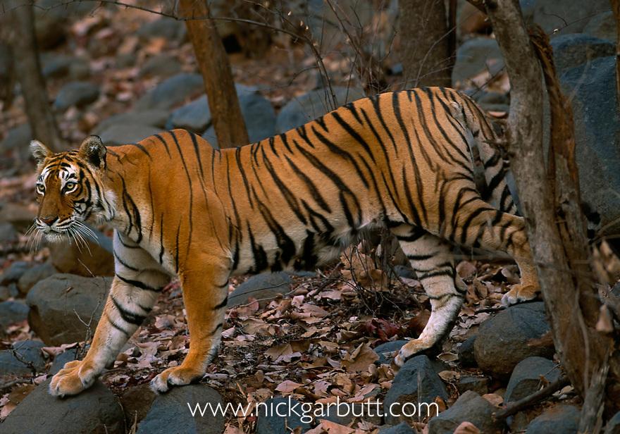 BENGAL TIGRESS (wild) walking<br /> Panthera tigris tigris<br /> through forest. Bandhavgarh<br /> National Park, India.