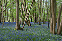 Arlington Bluebell Woods, East Sussex, early May.