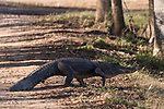 Brazoria County, Damon, Texas; a large adult American Alligator walking across the dirt road at the edge of the slough in afternoon light