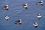 Atlantic puffins on water, Iceland