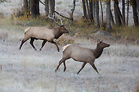 Elk rut, Moraine Park, Rocky Mountain National Park