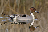 571350003 a wild drake northern pintail swims anas acuta swims in a shallow pond at colusa national wildlife refuge califonai