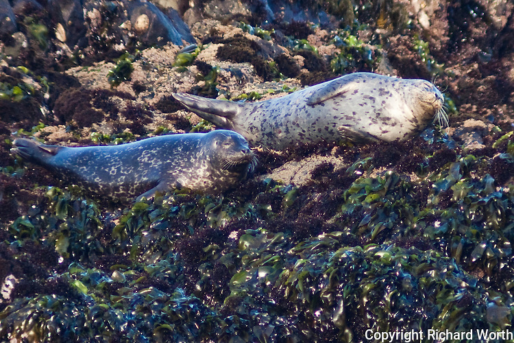A pair of harbor seals lie basking on the rocks, soaking up the sun, at Bean Hollow State Beach.