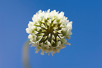 Close-up of white clover, Chipping, Lancashire..Copyright..John Eveson, Dinkling Green Farm, Whitewell, Clitheroe, Lancashire. BB7 3BN.01995 61280. 07973 482705.j.r.eveson@btinternet.com.www.johneveson.com